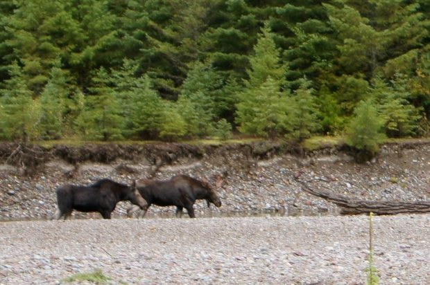 Wild Moose soaking their feet