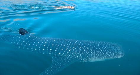 cabo-whale-shark-snorkel-tour